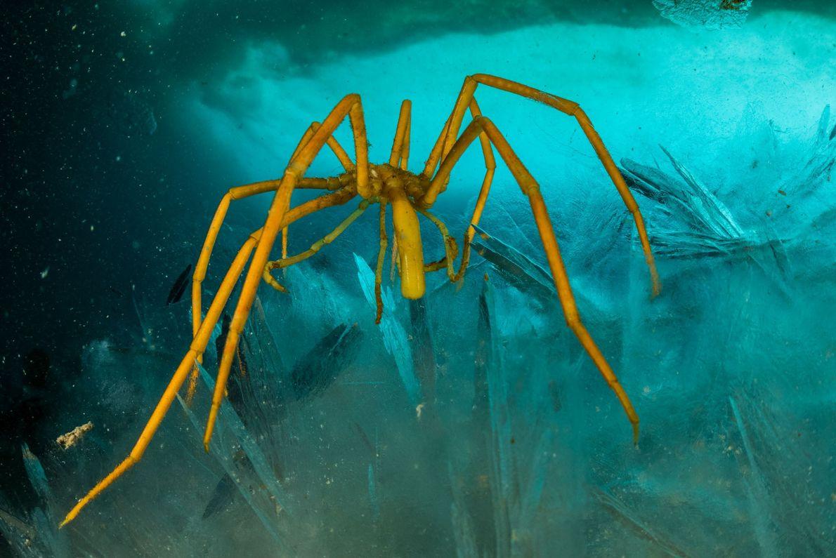 """Las arañas marinas son otro ejemplo de misterioso """"gigantismo polar"""": son diminutas en otros lugares, pero ..."""