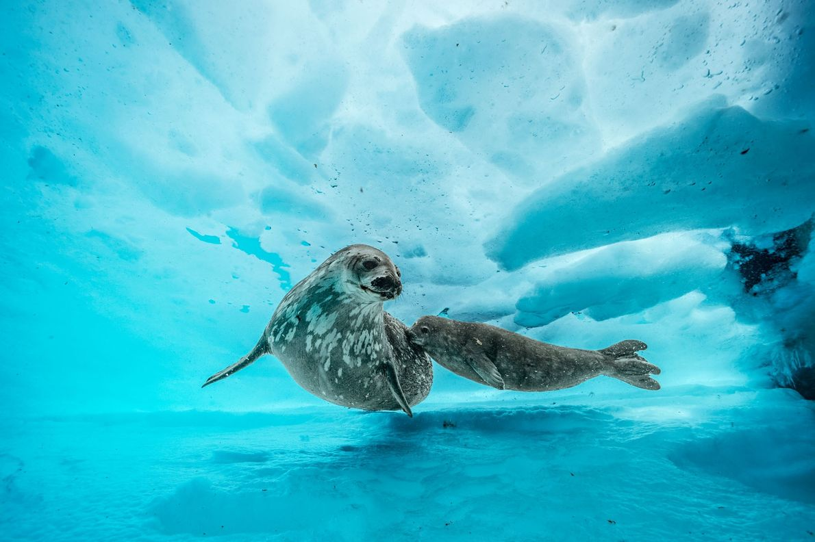 Una foca de Weddell acompaña a su pequeño en un baño debajo del hielo. Cuando la ...