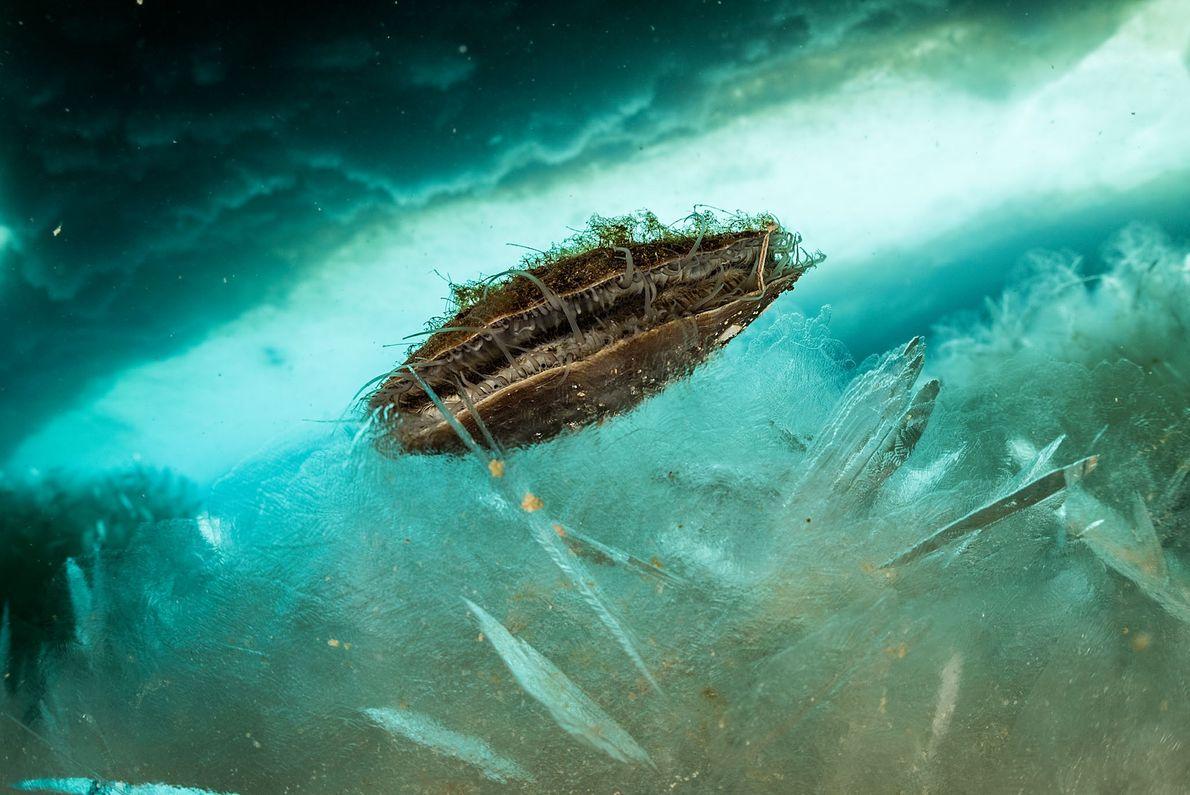 De tres pulgadas de largo (unos 7,6 centímetros), esta vieira antártica helada probablemente tenga décadas de ...