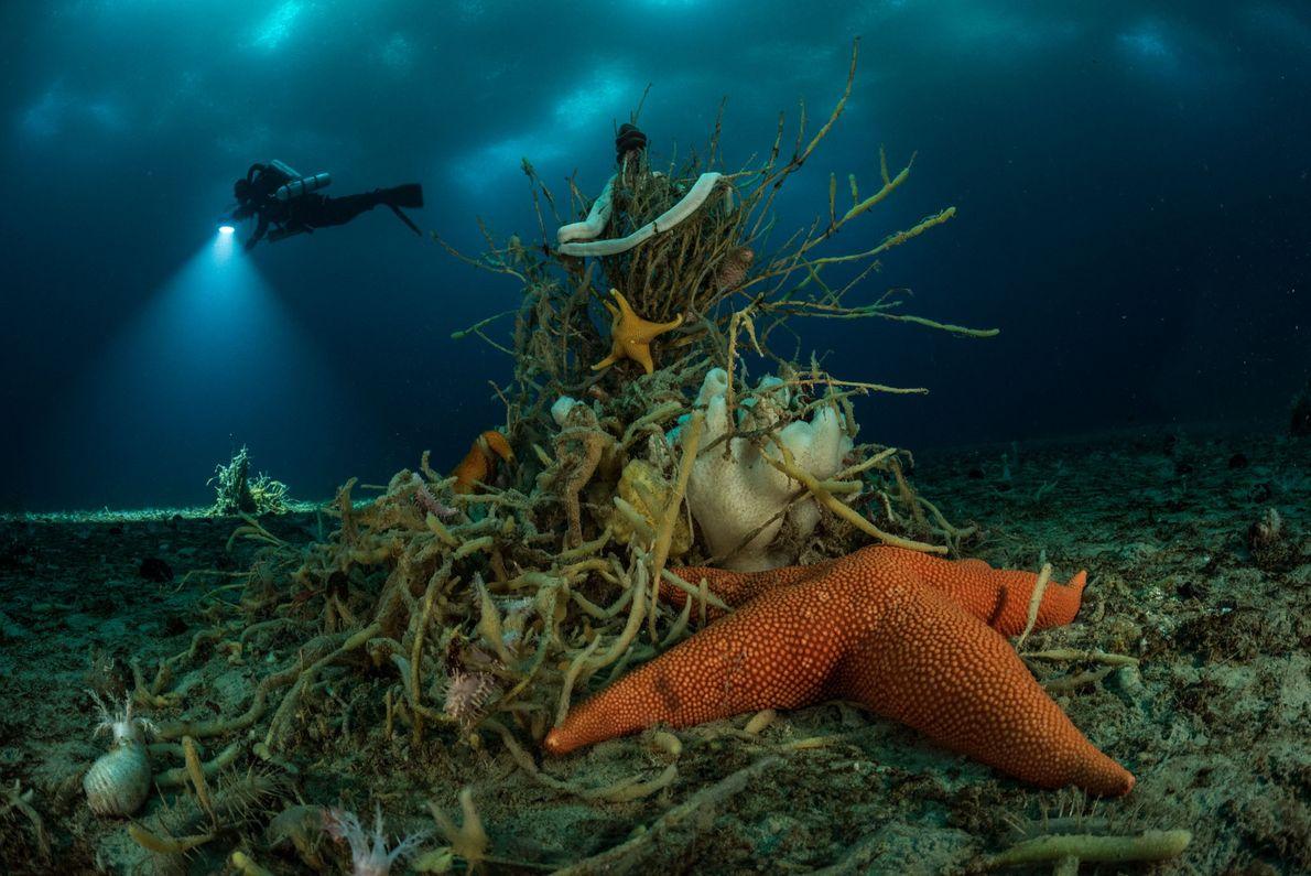 ¿La estrella de mar enclavada en una esponja de gusano, semejante a un arbusto? Tiene más ...