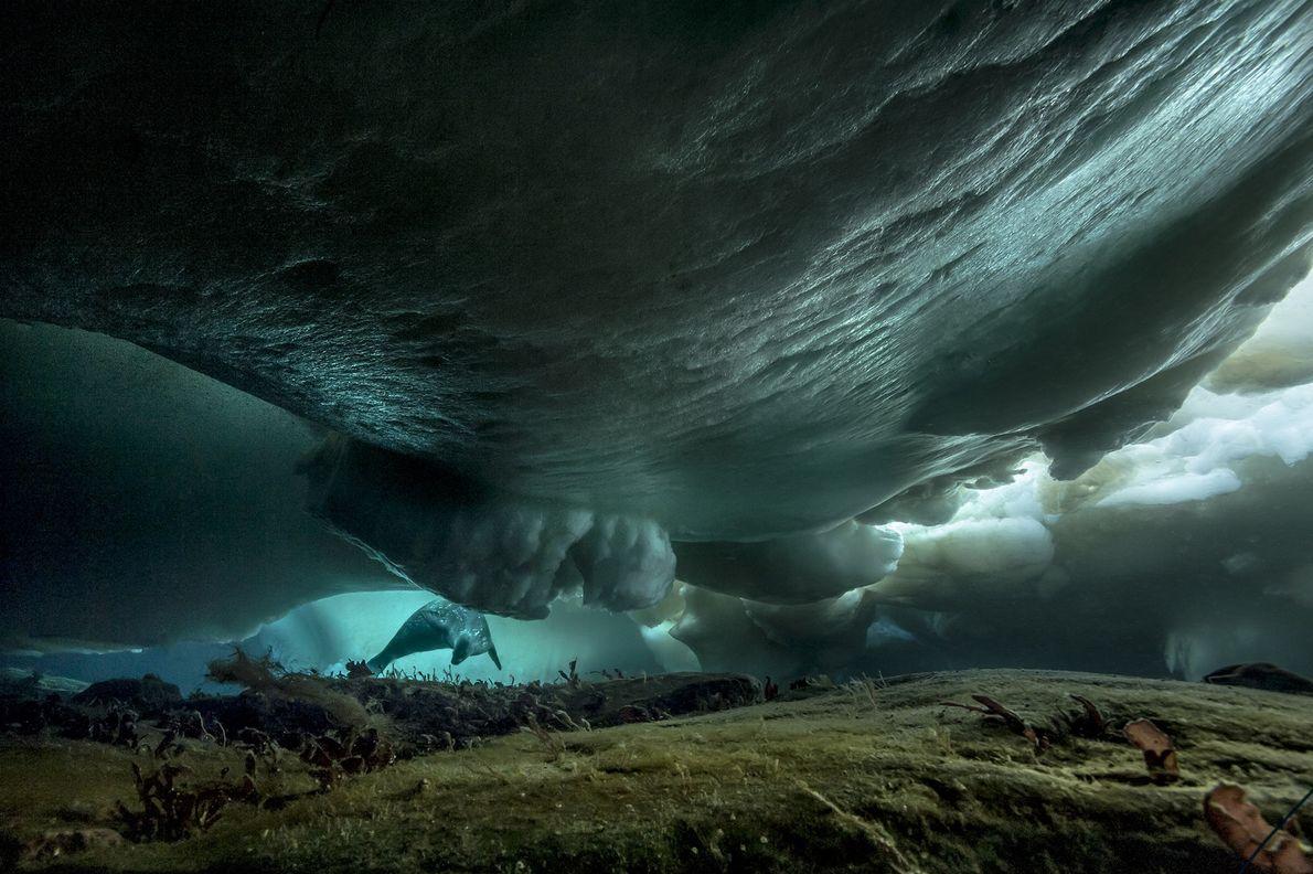 Una foca nada bajo el hielo marino cerca de la Base Dumont d'Urville, al este de ...