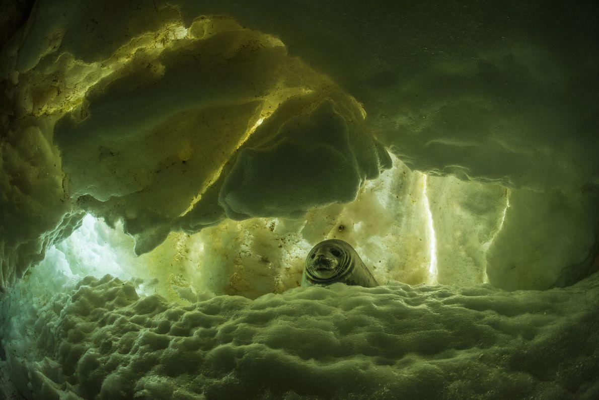 Una foca de Weddell joven en una grieta en el hielo. Este joven ejemplar alcanzará los ...