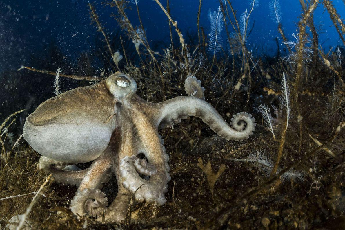 Una de las 16 especies de pulpo de la Antártida descansa en el lecho oceánico. Todos ...