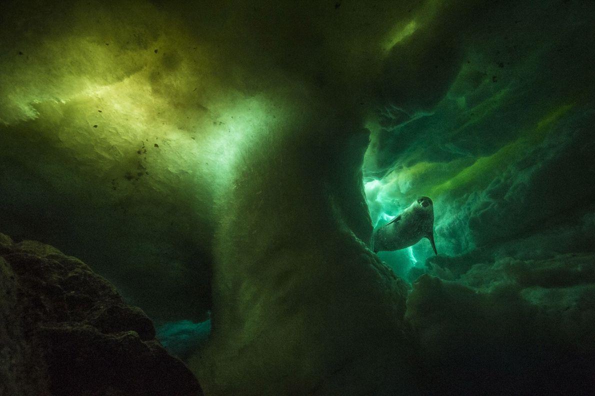 El mamífero reproductor más austral del mundo, un sello de Weddell, nada bajo el hielo. Las ...