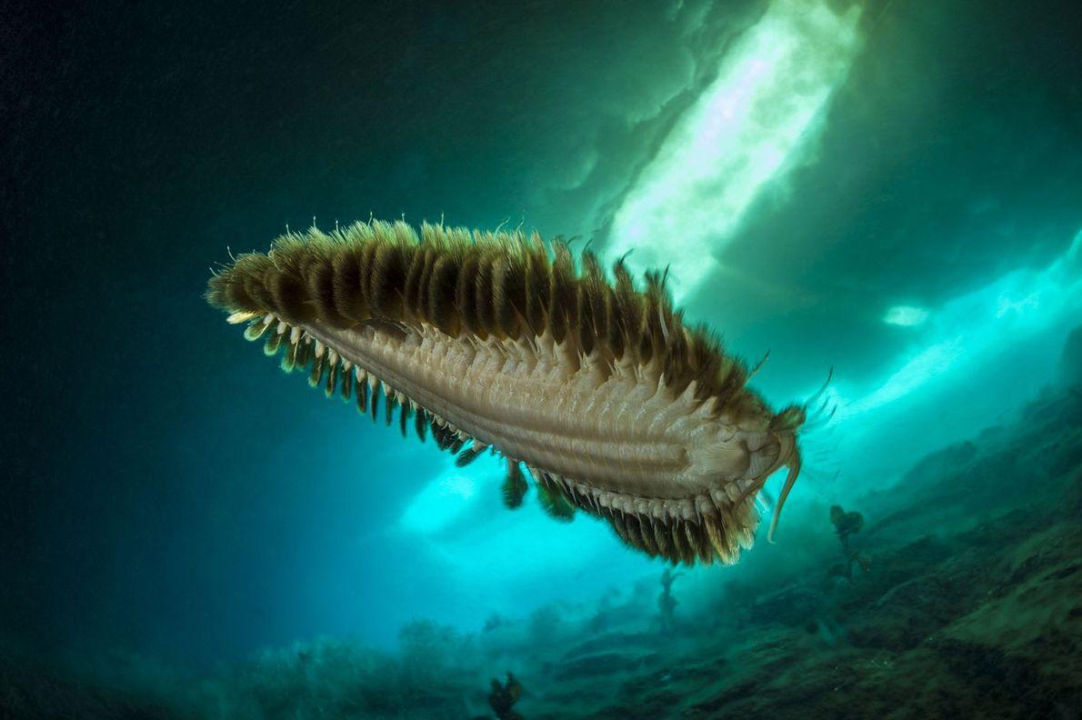 Las aguas heladas debajo de la Antártida también son el hogar de una variedad de invertebrados ...