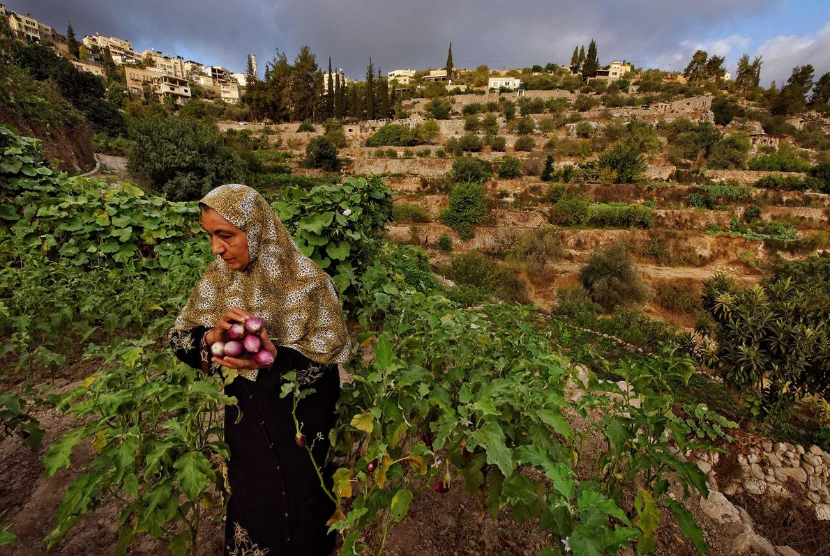 Land of Olives and Vines, Occupied Territories of Palestine