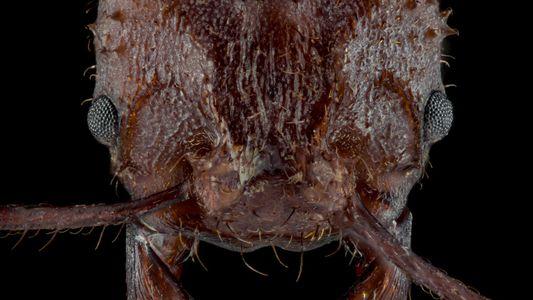 Las hormigas cortadoras de hojas poseen una armadura de cristal rocosa, nunca antes vista en insectos