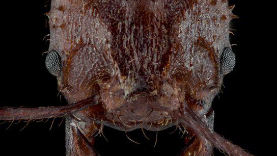 La hormiga cultivadora de hongos Acromyrmex echinatior tiene un nuevo tipo de cubierta biomineral que sirve ...