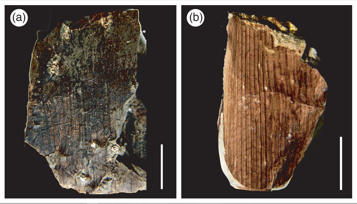 Hojas fósiles del Mioceno con afinidad a la familia Arecaceae (Palmas). Provincia de Espinar, Departamento de ...