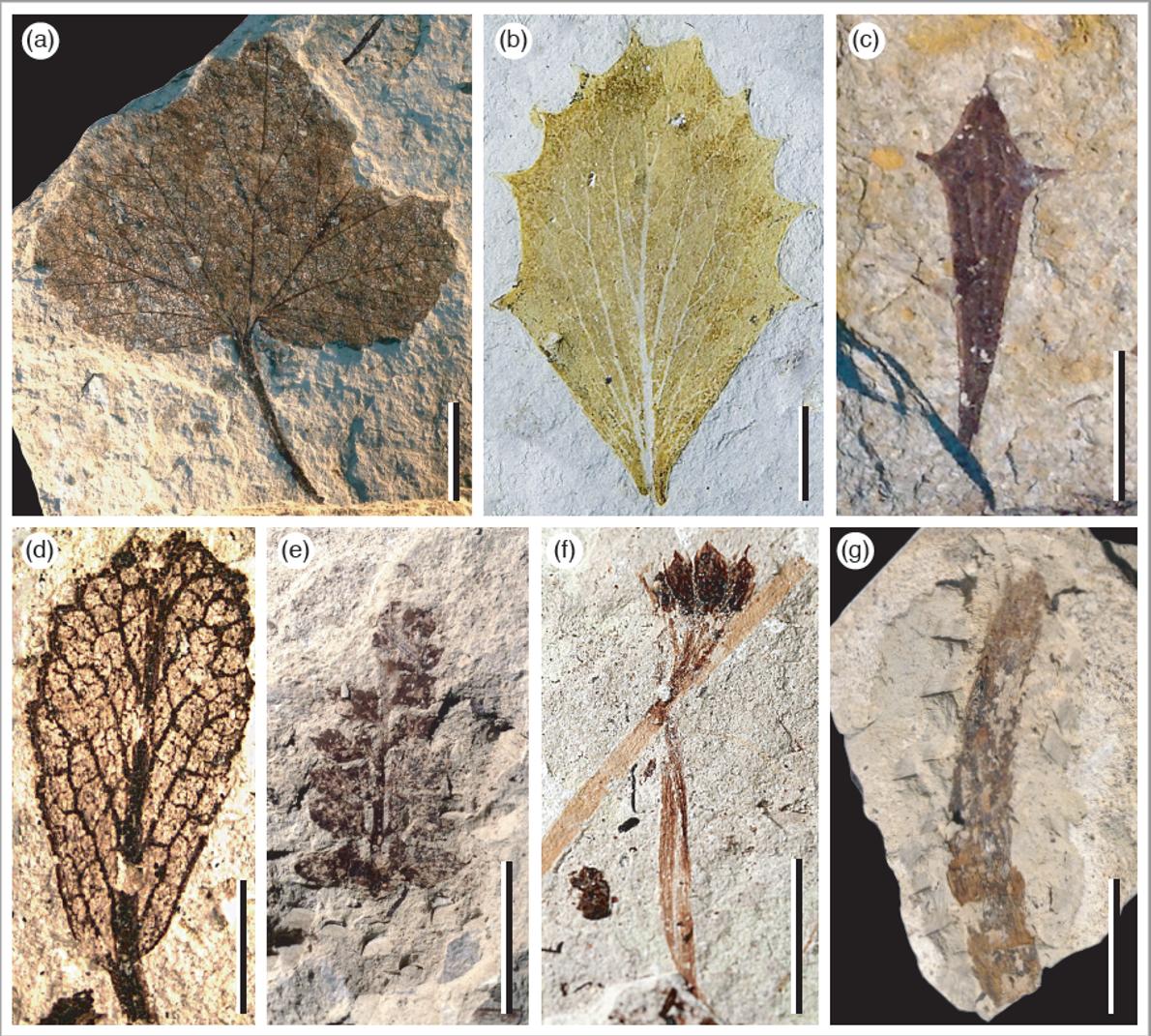 Hojas fósiles del Plioceno.