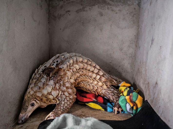 Los pangolines, los mamíferos no humanos más traficados del mundo, reciben más protección conforme la ley ...