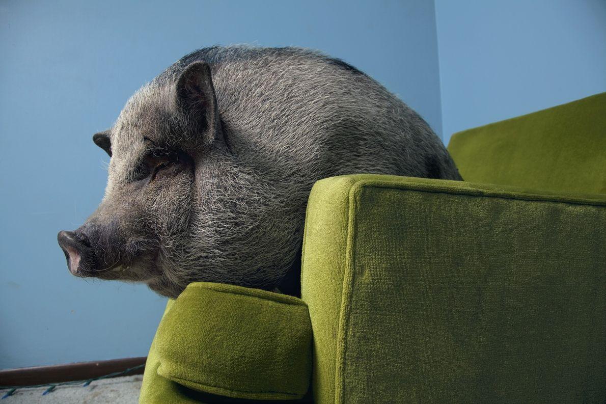 Como todos los cerdos, los cerdos vietnamitas son muy sociables. Varios estudios muestran que usan el ...