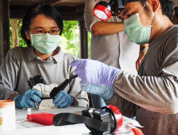Supaporn Wacharapluesadee, una experta en virus y su equipo se preparan para tomar muestras de sangre de murciélagos ...