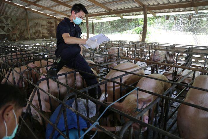 Los investigadores también evaluaron cerdos en granjas ubicadas cerca de la colonia de murciélagos. Dicha vigilancia ...