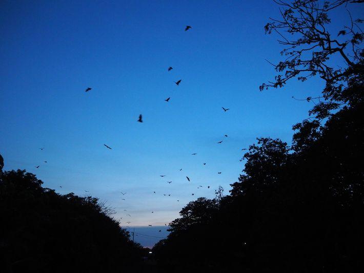 Miles de murciélagos vuelan al atardecer para alimentarse de los árboles frutales en los huertos cercanos ...