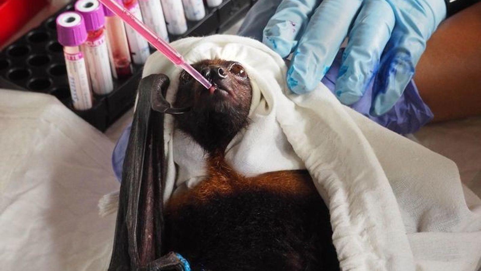 Antes de ser liberado, un murciélago de la fruta recibe un sorbo de alimento después de ...
