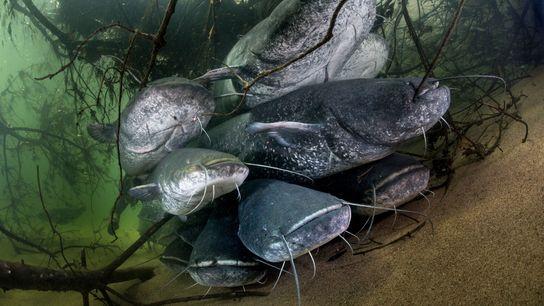 El bagre europeo, nativo de Europa oriental, puede alcanzar hasta 3 metros de largo.