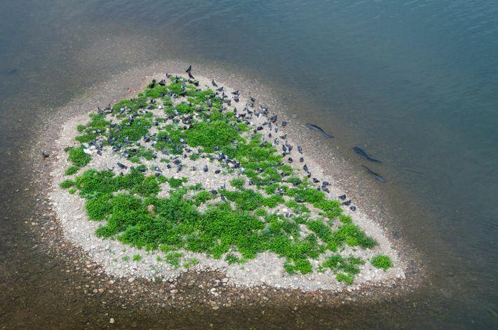 Los bagres europeos cercan una pequeña isla en el río Tarn y se preparan para atrapar ...