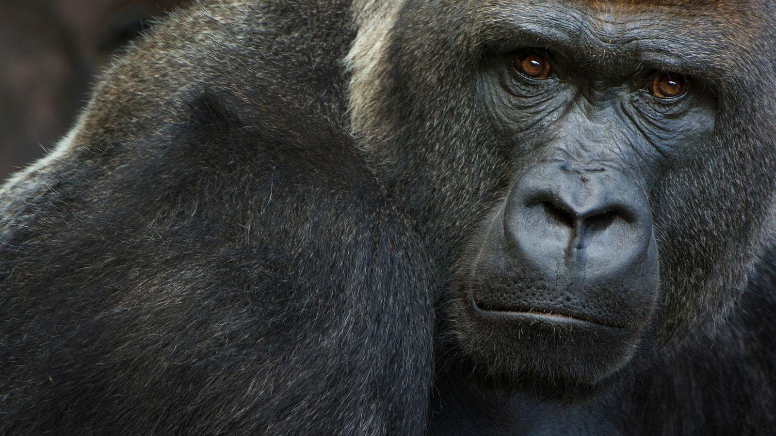 Los gorilas occidentales de llanura, una especie en peligro crítico de extinción, son susceptibles al nuevo ...