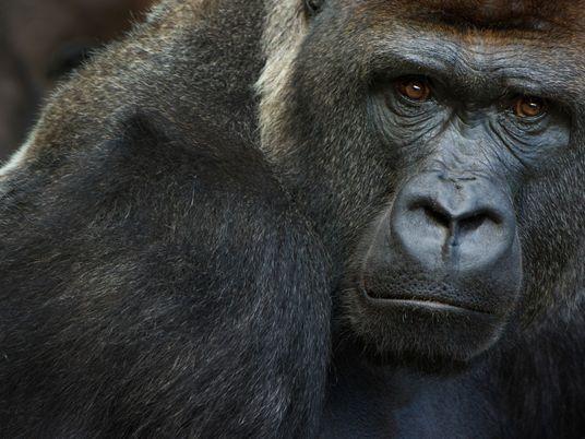 Gorilas dan positivo de COVID-19 en un zoológico de California