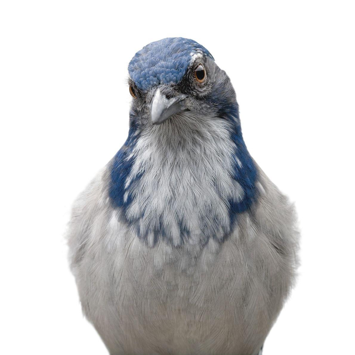 La chara californiana, un ave originaria del oeste de Norteamérica, puede recordar más de 200 lugares ...