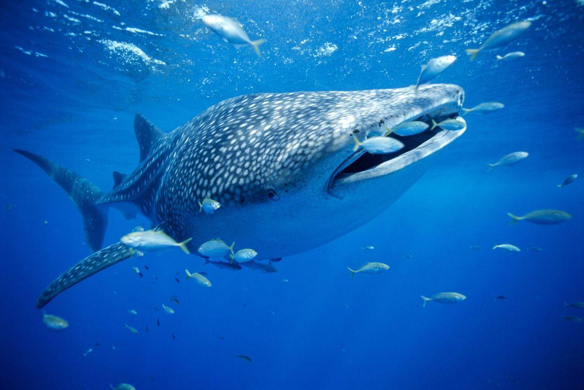 Tiburón ballena. Australia occidental.