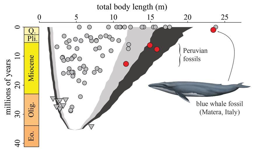 Este gráfico muestra el cambio del largo del cuerpo de las ballenas barbudas a lo largo del tiempo. Los círculos rojos muestran las ubicaciones de la ballena de Matera junto con los tres fósiles no excavados de Perú.