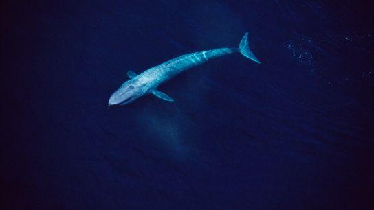 Esta vista aérea del mar de Cortés muestra a una ballena azul de 24 metros deslizándose ...
