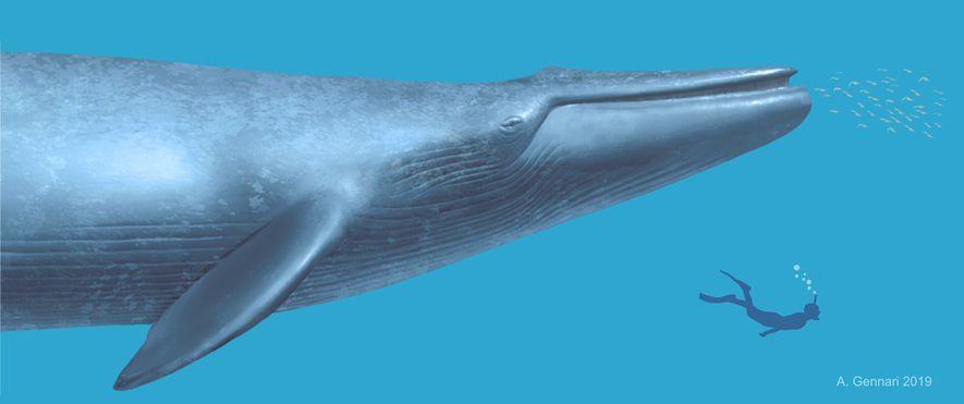 Una ilustración muestra cómo se hubiera visto un buzo humano cerca de la antigua ballena.