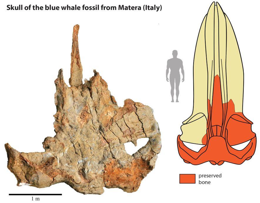 El cráneo fósil de la ballena de Matera (izquierda) ayudó a los científicos a crear esta reconstrucción del cráneo completo para un análisis anatómico.