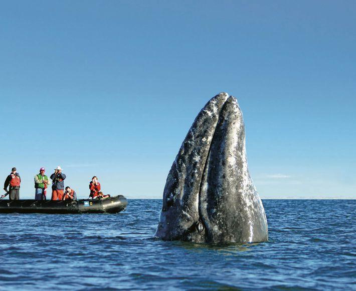 Gente a bordo de un bote observa una ballena gris mientras se asoma a la superficie ...