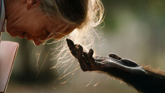 Jou Jou, un chimpancé macho adulto, estira su mano para saludar a la exploradora de National ...