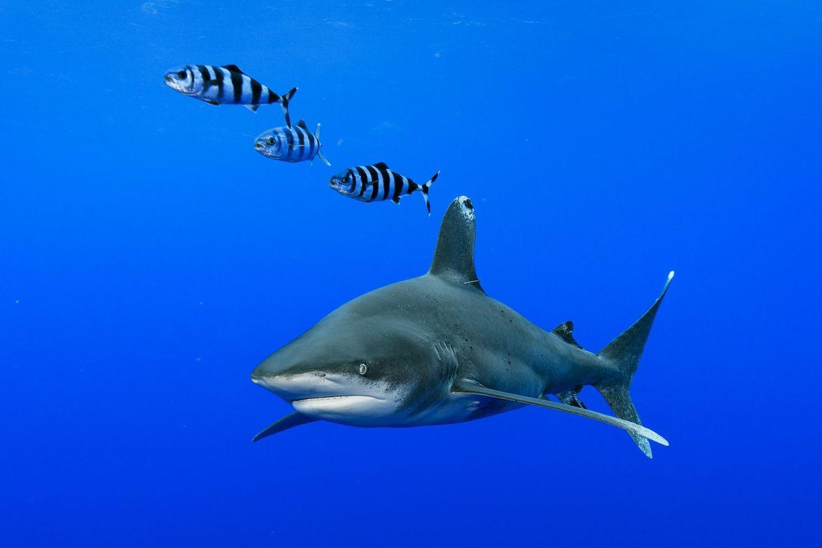 Tiburón oceánico. Las Bahamas.