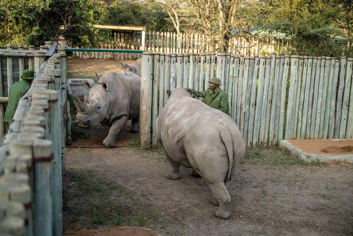 Zachariah Mutai, principal cuidador de Najin (izquierda) y Fatu (derecha) en Ol Pejeta Conservancy de Kenia, ...
