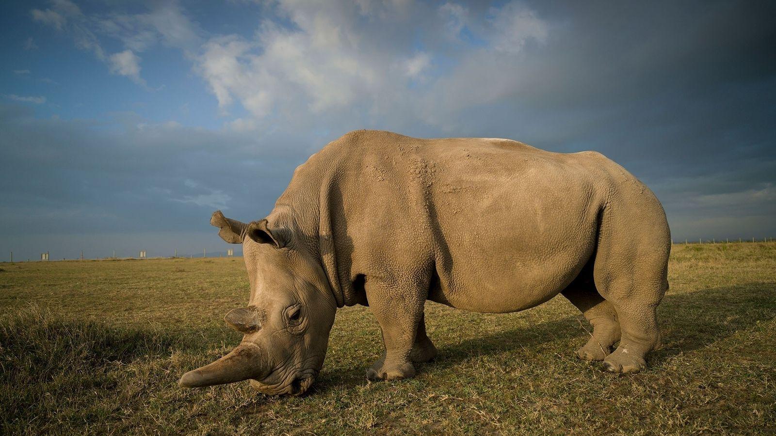 Najin es uno de los dos últimos rinocerontes blancos del norte que quedan en el planeta. ...