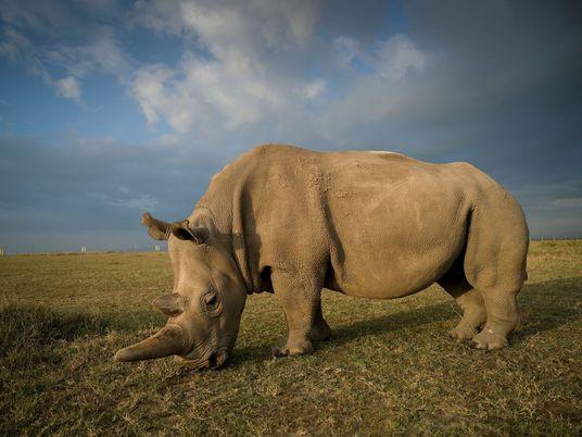 Avances en los esfuerzos por salvar al rinoceronte blanco del norte