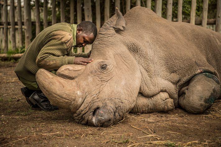 El guardabosques Zacharia Mutai consuela a Sudán, último rinoceronte blanco del norte macho, momentos antes de ...