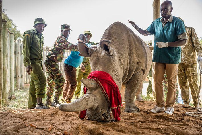 Fatu junto a sus cuidadores y el veterinario Stephen Ngulu. Luego de haberla anestesiado de forma ...