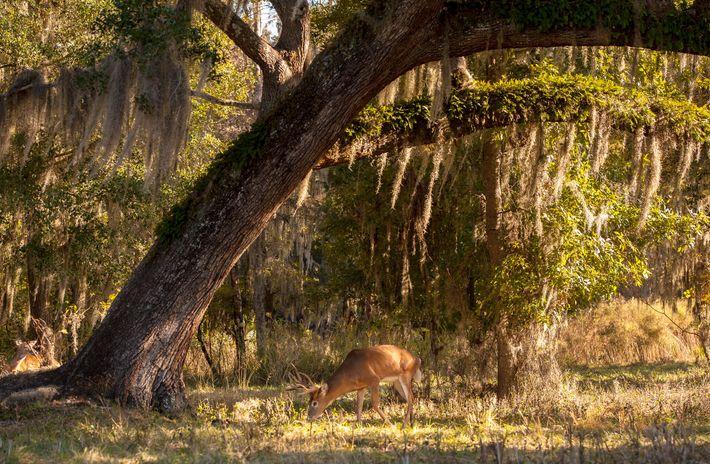 Un ciervo de cola blanca se alimenta al lado de un roble cerca de Ocala, Florida. ...