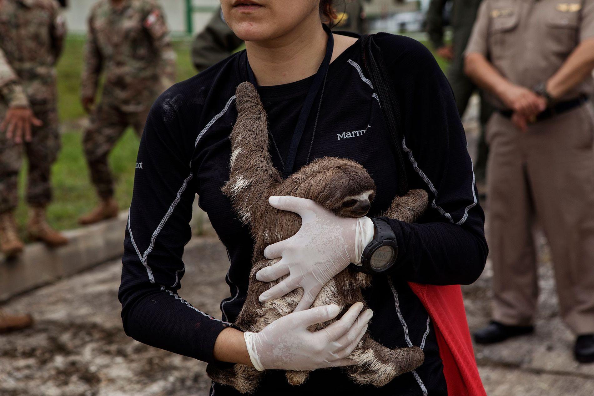 La veterinaria Violeta Barrera Navarro acuna a un perezoso después de la operación de rescate en Puerto Alegría.