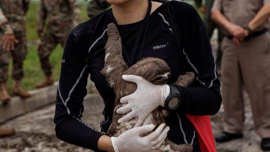 La veterinaria Violeta Barrera Navarro acuna a un perezoso después de la operación de rescate en ...