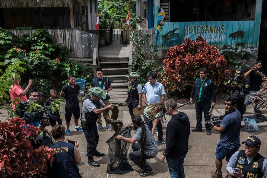 Expertos en vida silvestre colocan a una anaconda de 3 metros de largo en una red para transportar mientras que la policía y los residentes de Puerto Alegría lo observan. La anaconda, capturada en la jungla, fue una gran atracción para las fotos de los turistas.