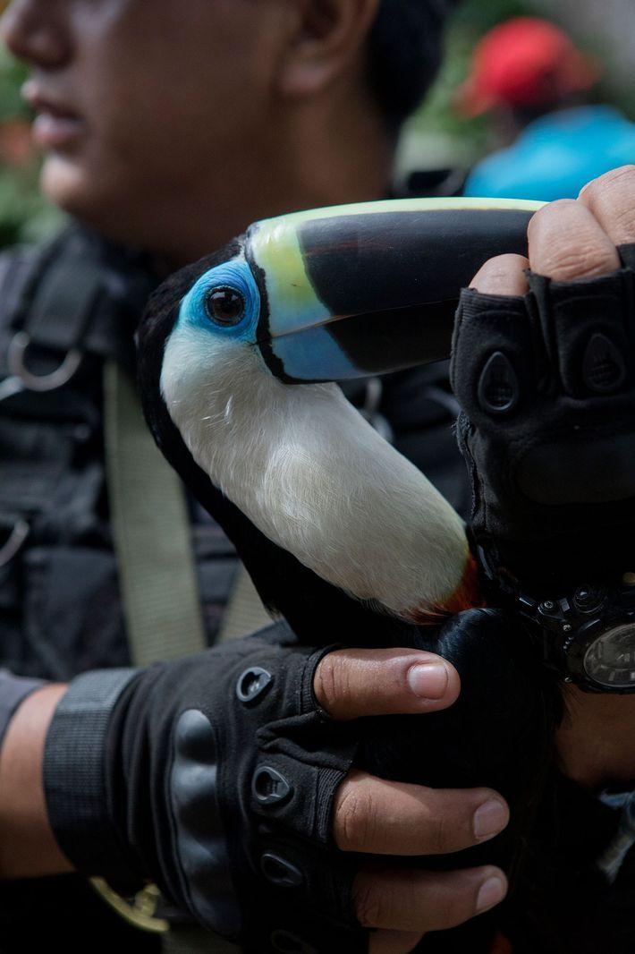 Este tucán es uno de los 14 pájaros rescatados, incluidos los guacamayos y los loros. Todos ...