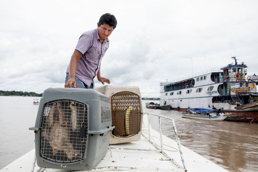 Un veterinario carga un par de perezosos y la anaconda en un barco. Las autoridades se llevaron los 22 animales río abajo y los cargaron en aviones de cargamento militares para llevarlos a Iquitos, Perú. Una vez allí, los trasladaron a centros de rehabilitación.