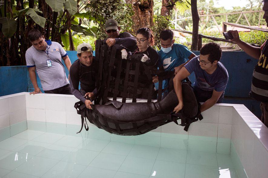 En el Centro de rescate Amazónico, un centro de rehabilitación de vida silvestre en Iquitos, los veterinarios bajan al manatí rescatado a una piscina. Ella tiene más de 18 kilogramos de peso inferior al normal y necesitará tres años de rehabilitación antes de que pueda ser liberada de nuevo en su hábitat natural.
