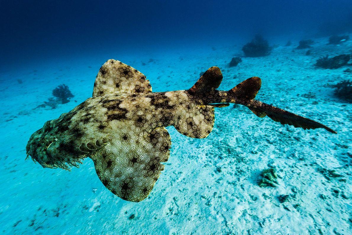 Tiburón alfombra teselado. Isla Friwinbonda, archipiélago de Raja Ampat, Indonesia.