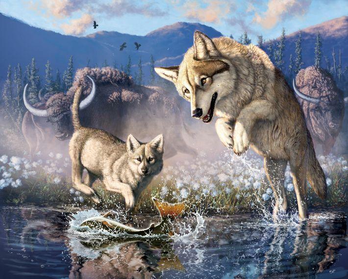 Una ilustración de un lobo gris cazando peces con su cachorro en el noroeste de Canadá ...