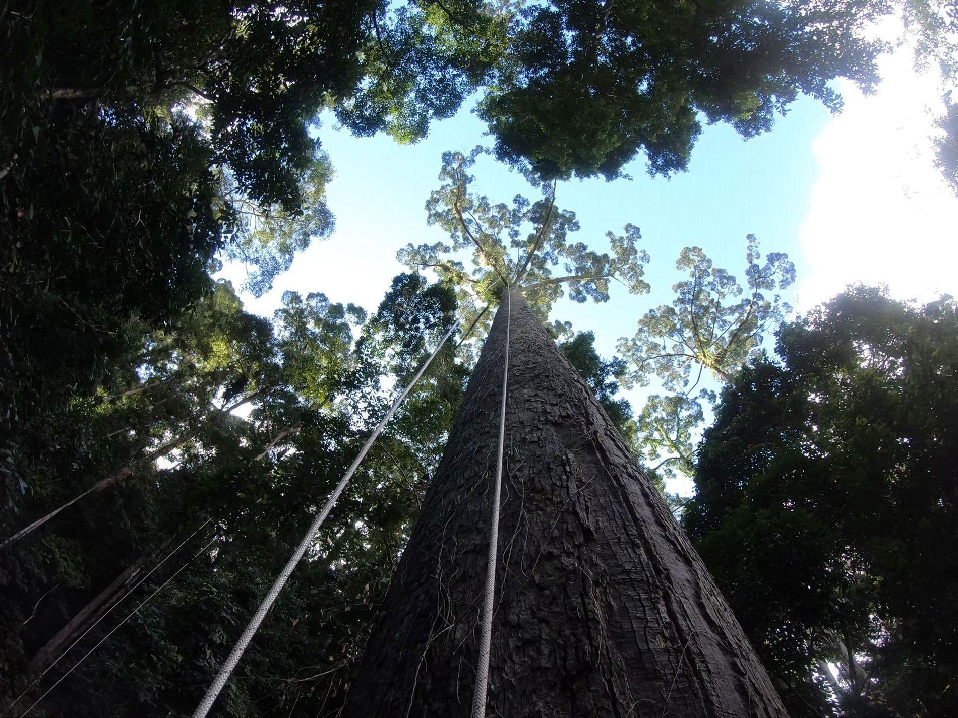 Un equipo de científicos trepa un potencial candidato para el árbol más alto del mundo en ...