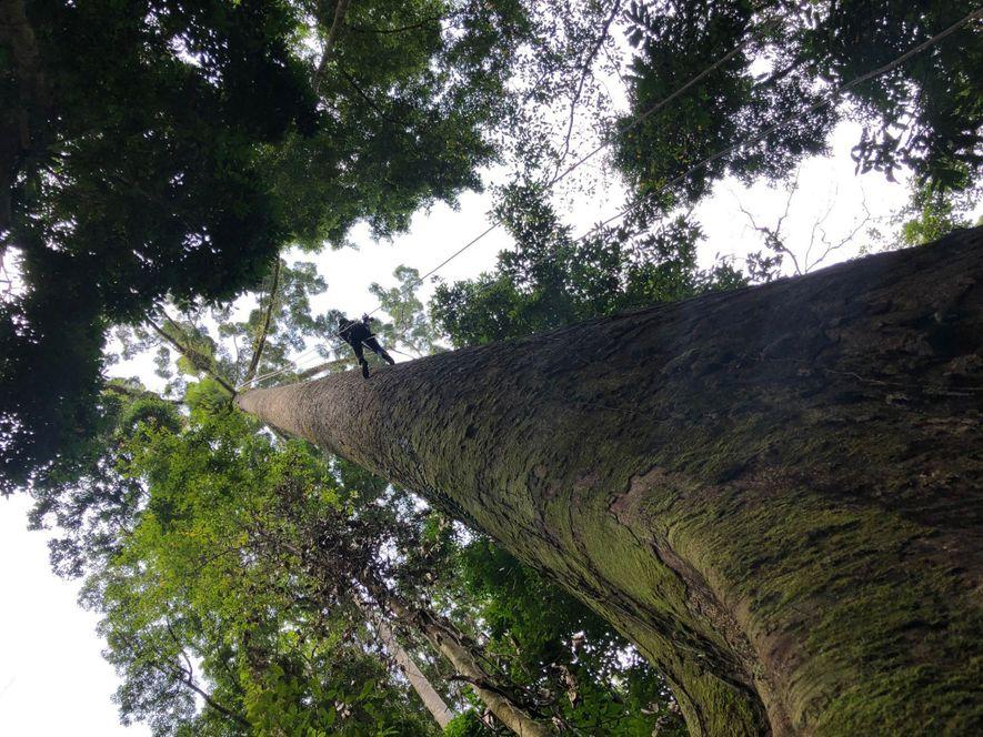 Sólo los valientes se atreven a trepar los árboles más altos del mundo.
