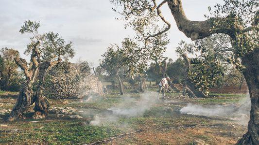Los olivos italianos se están muriendo ¿Podrán ser salvados?